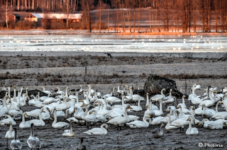 WhooperSwans_1a